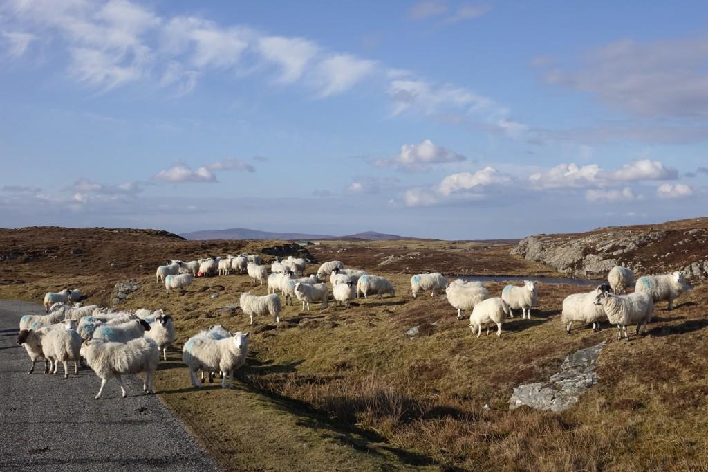 Sheep on Grimsey, North Uist.